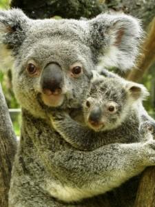 El Koala Eye Pet